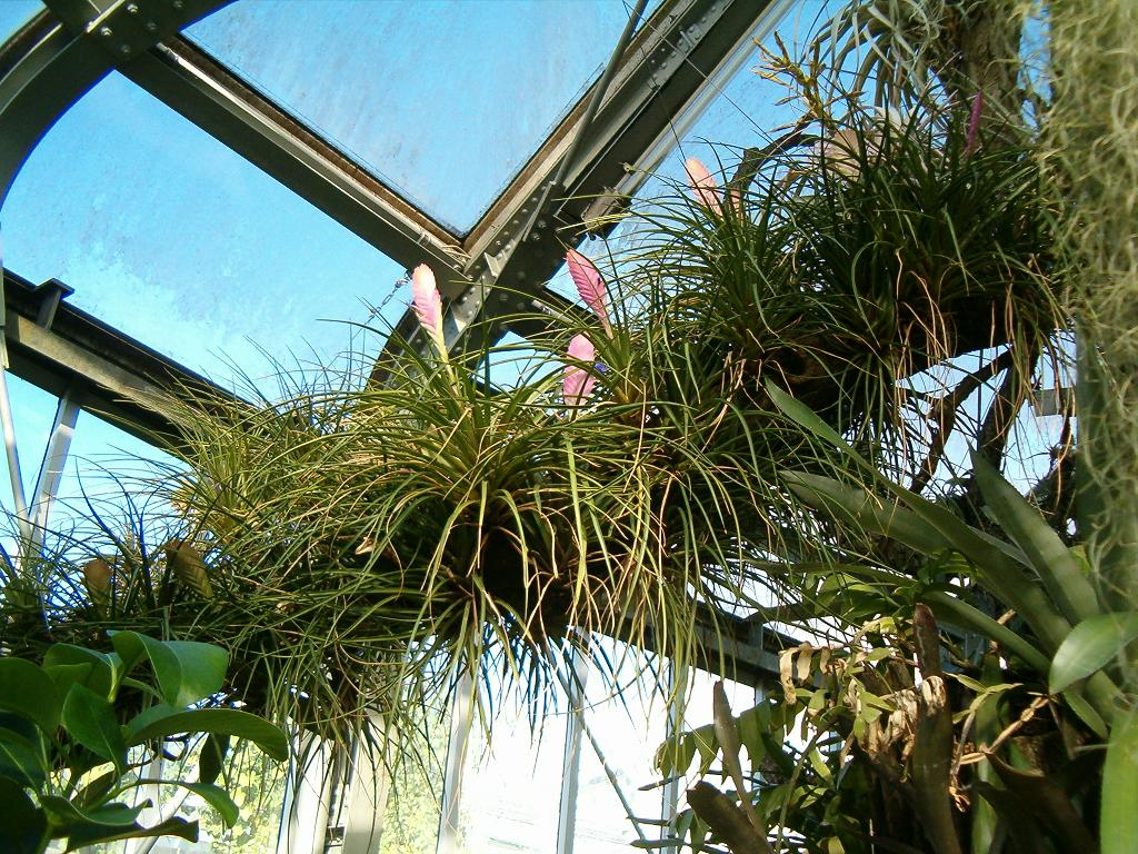 Tillantsia in de serre